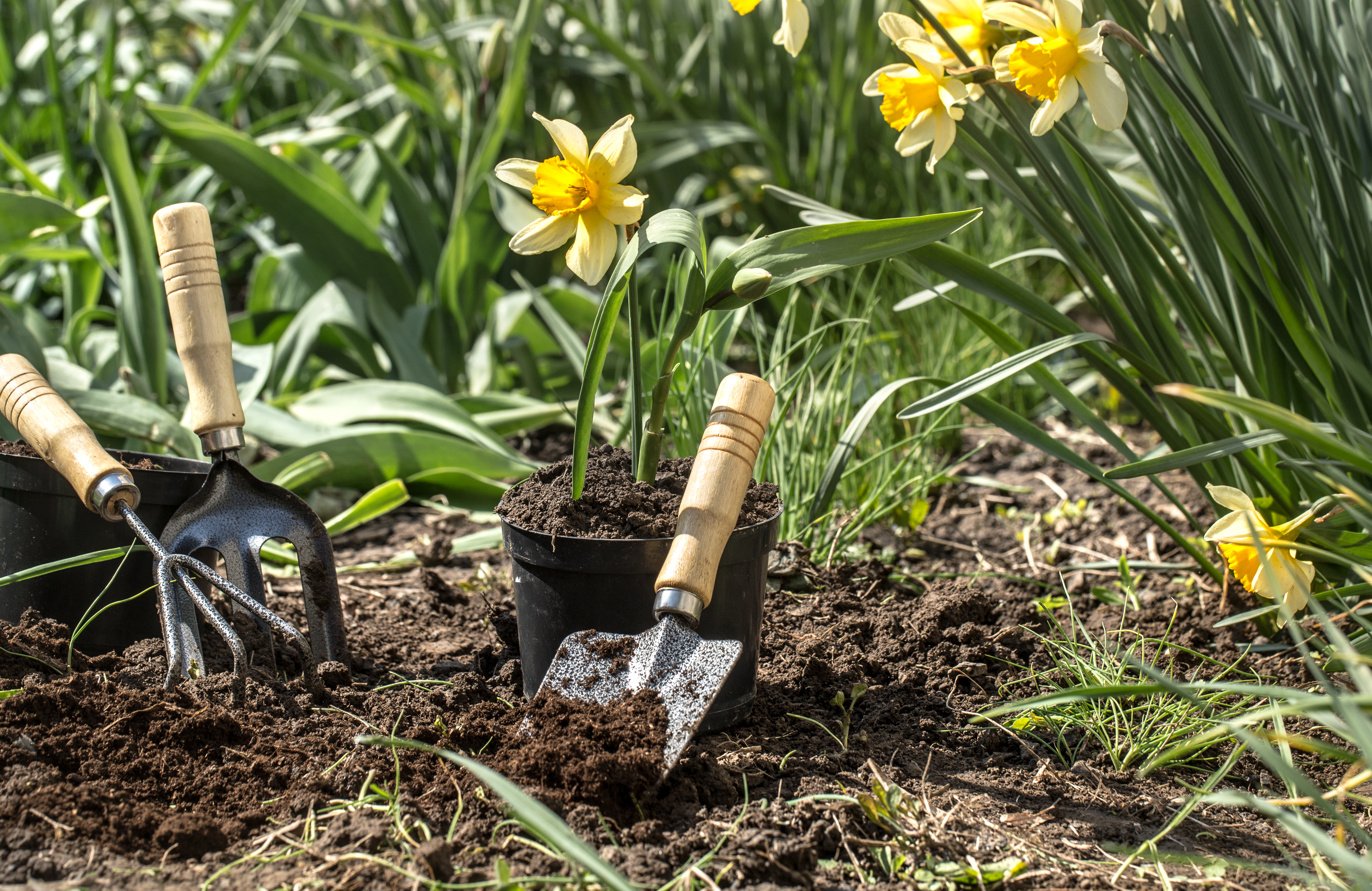 Planting yellow flowers daffodils in the garden, garden tools, flowers. Earth day